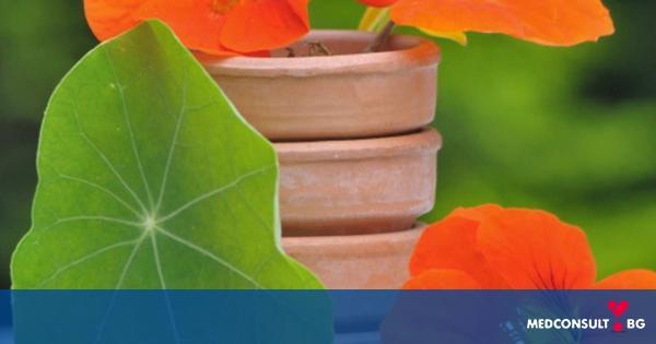 Латинка - красиво цвете с много ползи за здравето